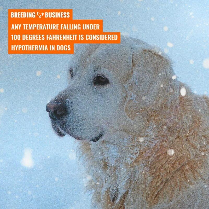 canine hypothermia temperature