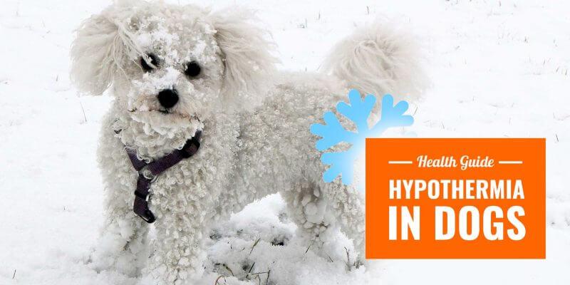 dog hypothermia