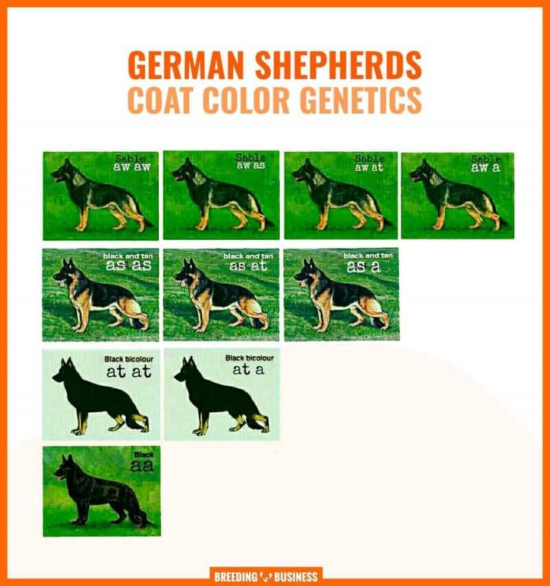 german shepherd coat color genetics