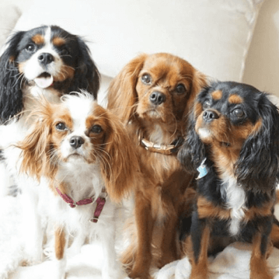 four cavalier king charles dogs