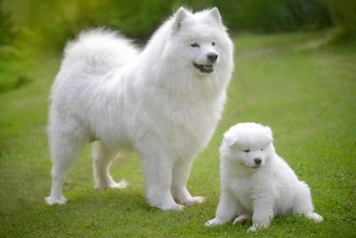two samoyeds