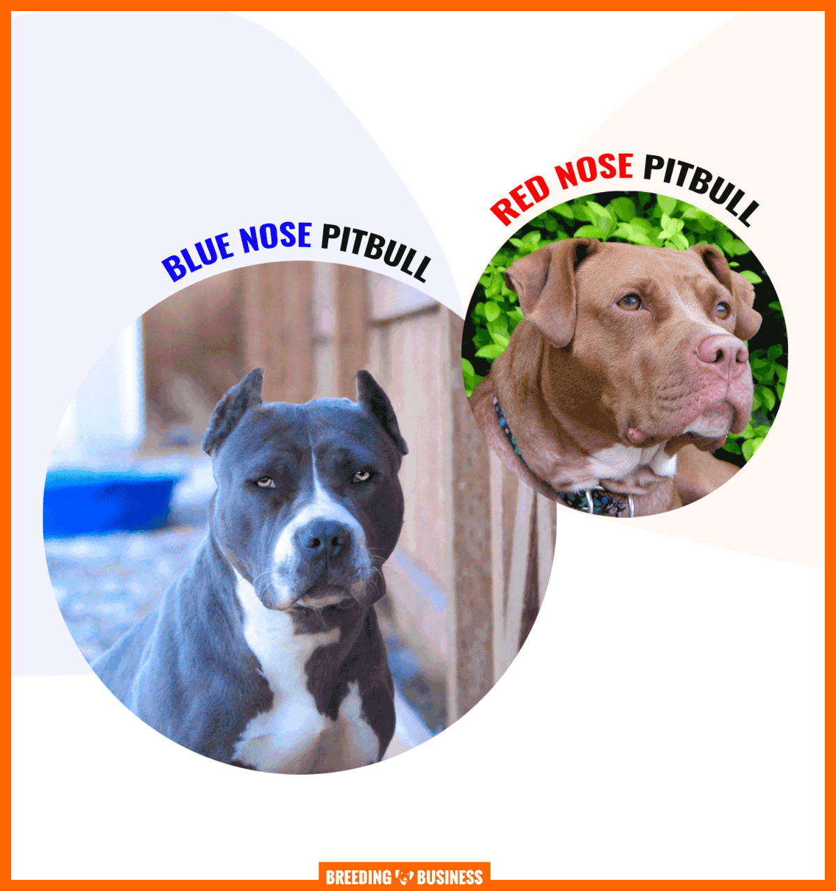 blue nose and red nose pitbulls