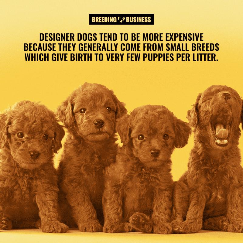 price of designer puppies