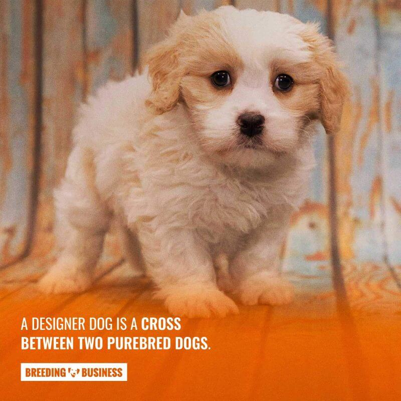 designer dog (definition)