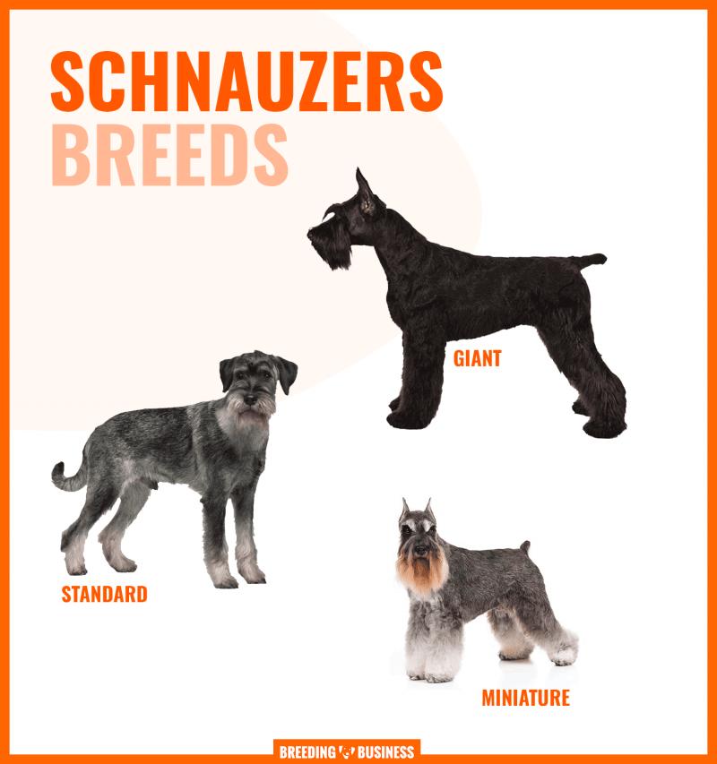 different schnauzer sizes