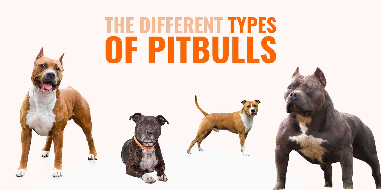Different Types of Pitbulls — APBT, American Bully, Bulldogs, Staffies...