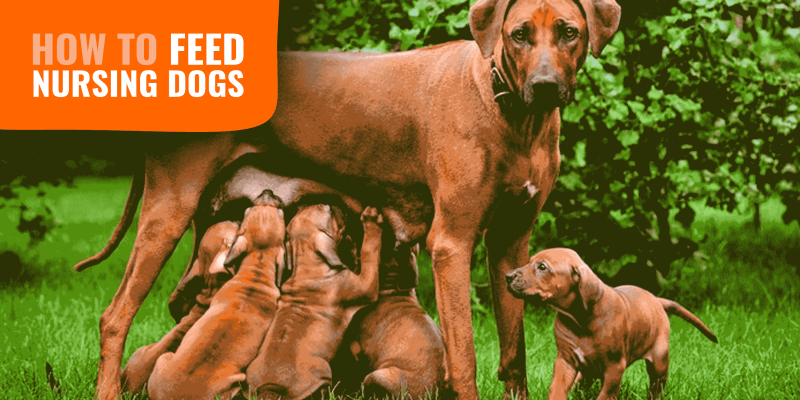 How to Feed a Nursing Dog