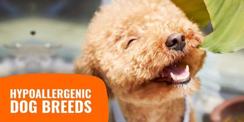 Guide on Hypoallergenic Dog Breeds