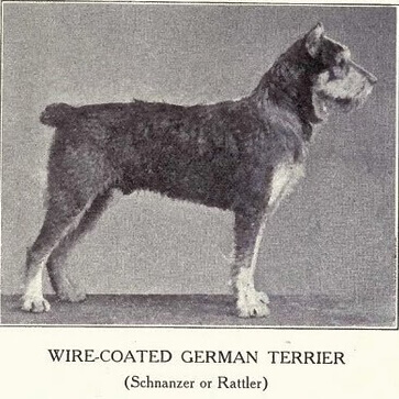 history and origin of the schnauzer – Wire-Coated German Terrier