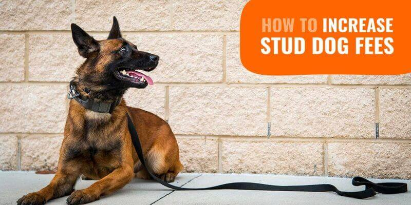 How To Increase Your Stud Dog Fees