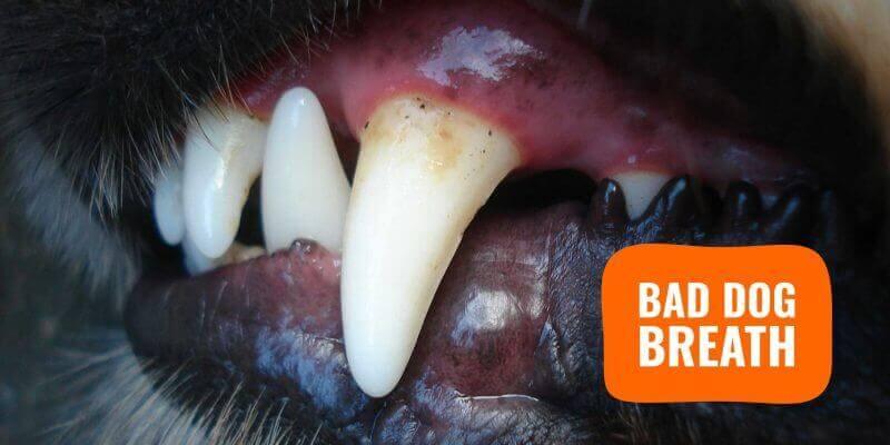 bad dog breath (canine halitosis)