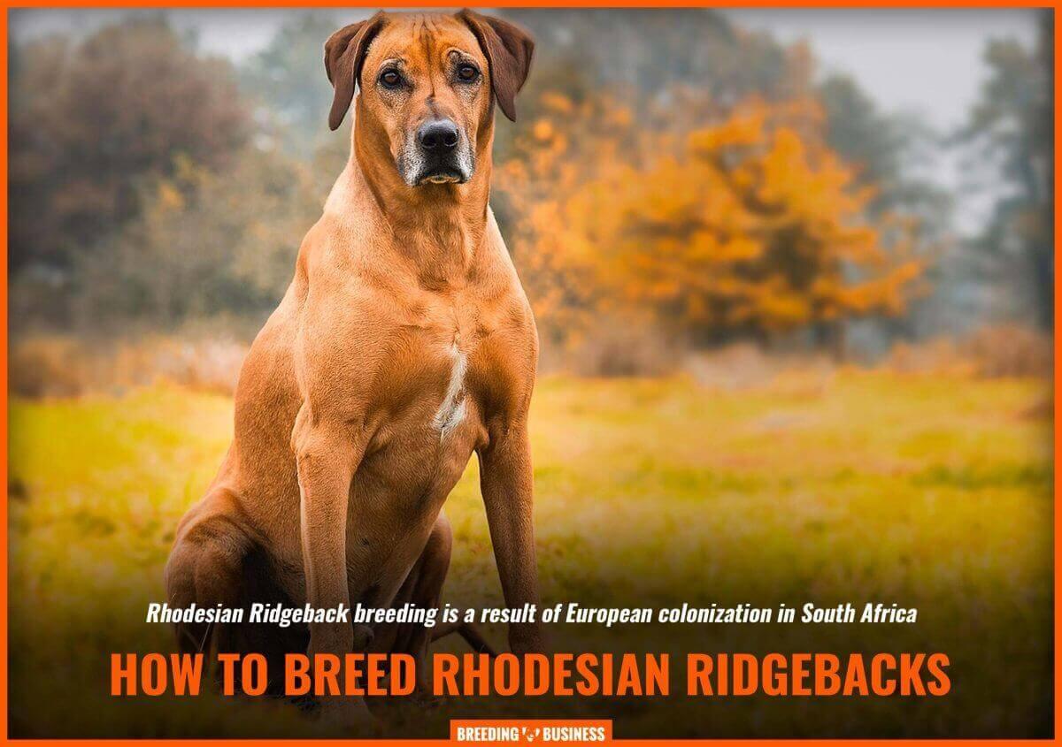 Breeding Rhodesian Ridgebacks