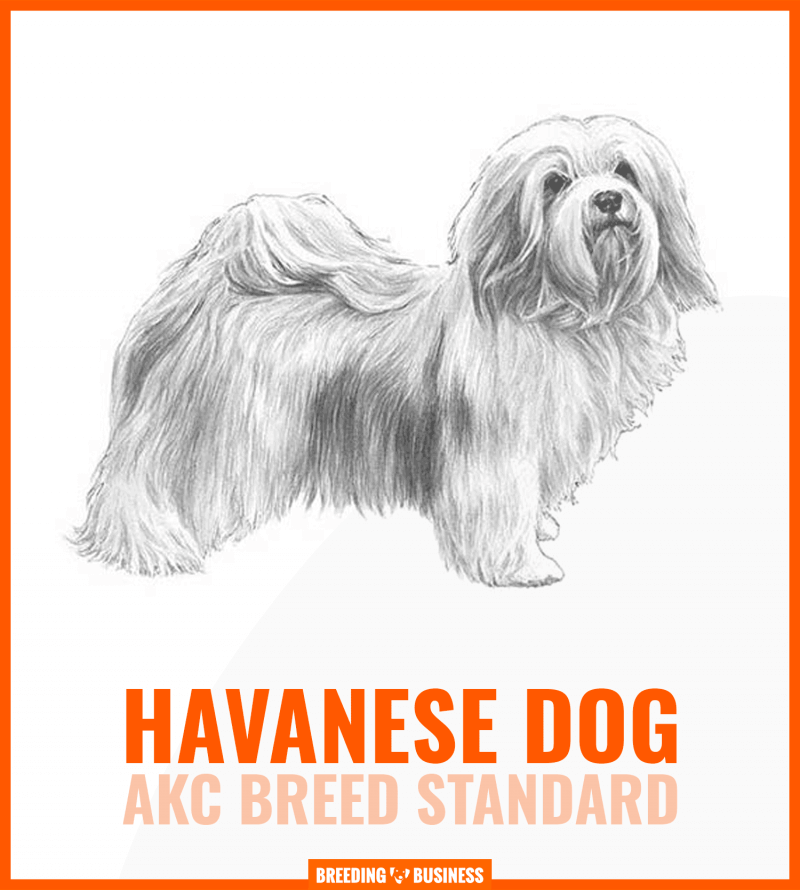 havanese dog breed standard (chart)