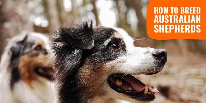 How To Breed Australian Shepherds