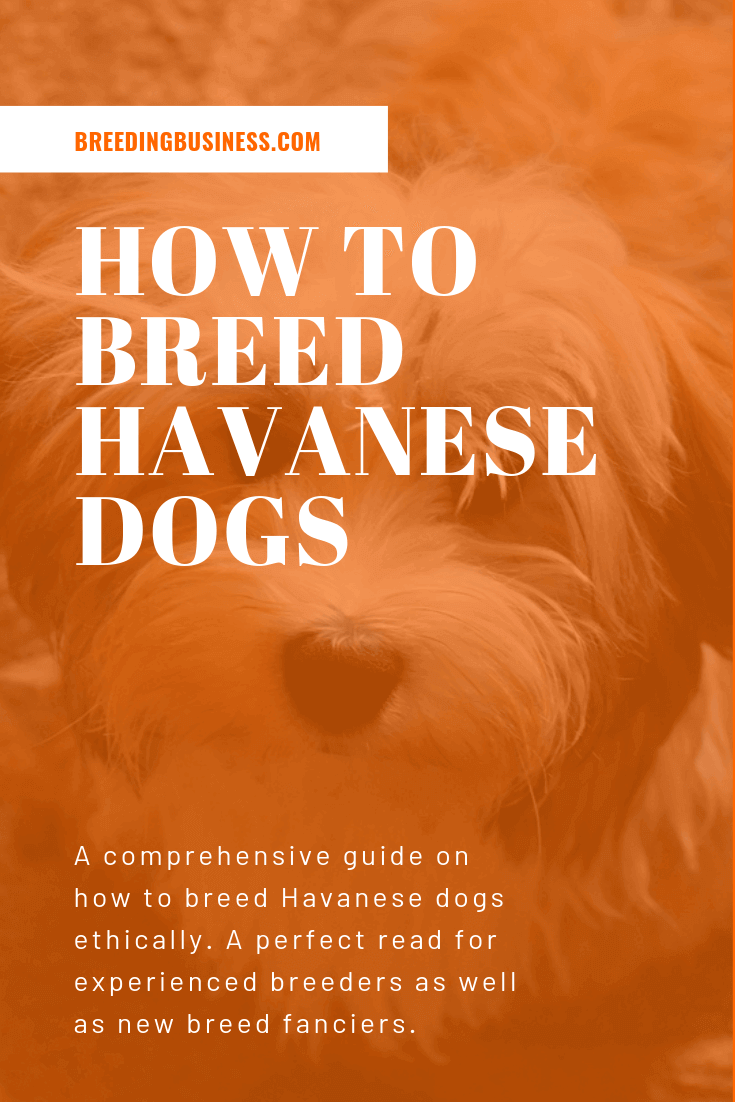 How To Breed Havanese Dogs? (Infographics)