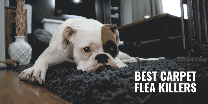 best carpet flea killer