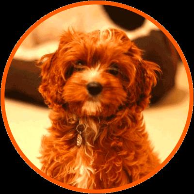 Poodle Mixes Guide Sizes Shedding Faq List Of Poodle Crossbreeds