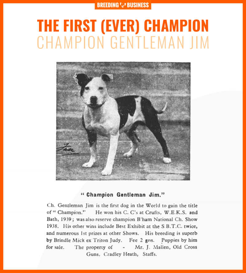 gentleman jim staffordshire bull terrier champion