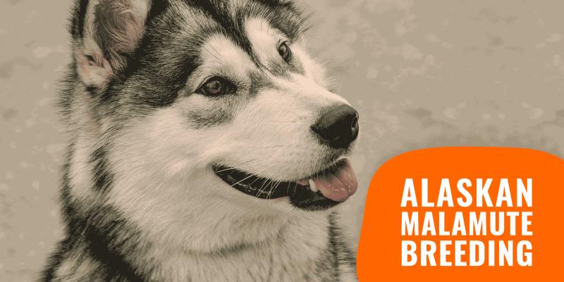 How To Breed Alaskan Malamutes