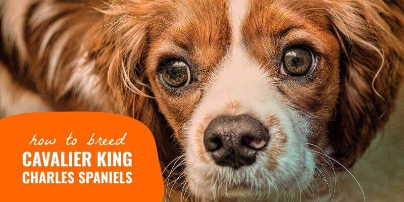 how to breed-cavalier king charles spaniels