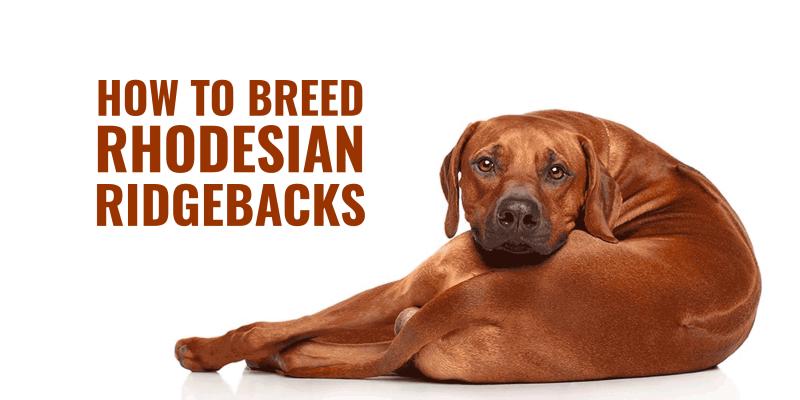 How To Breed Rhodesian Ridgebacks