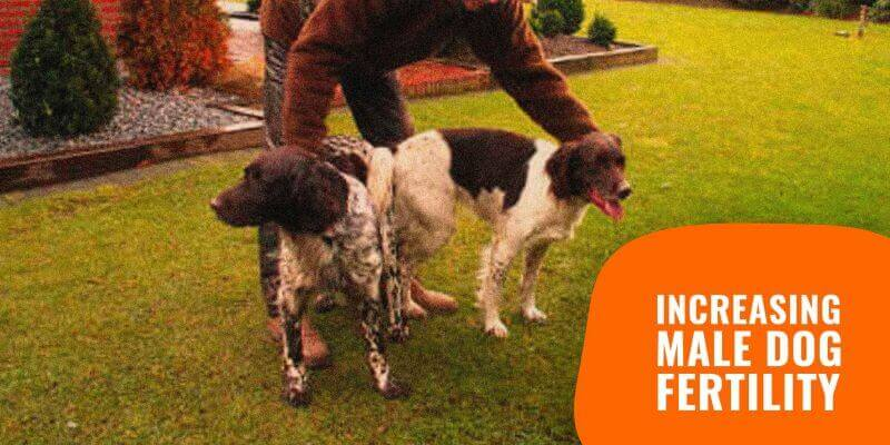 Tips to Increase Male Dog Fertility