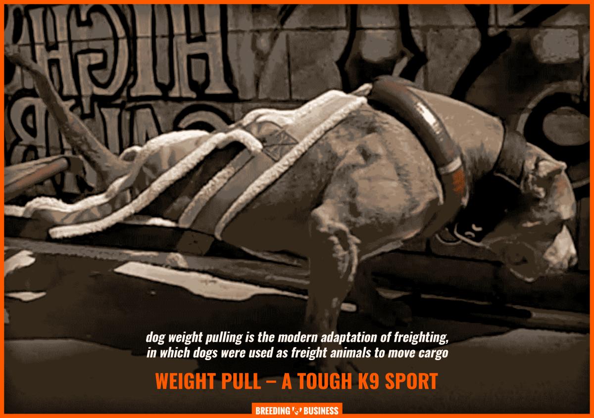 pitbull weight pulling