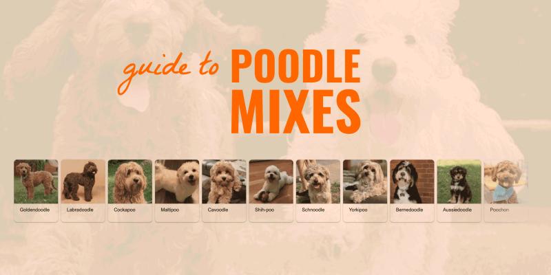 poodle mix guide
