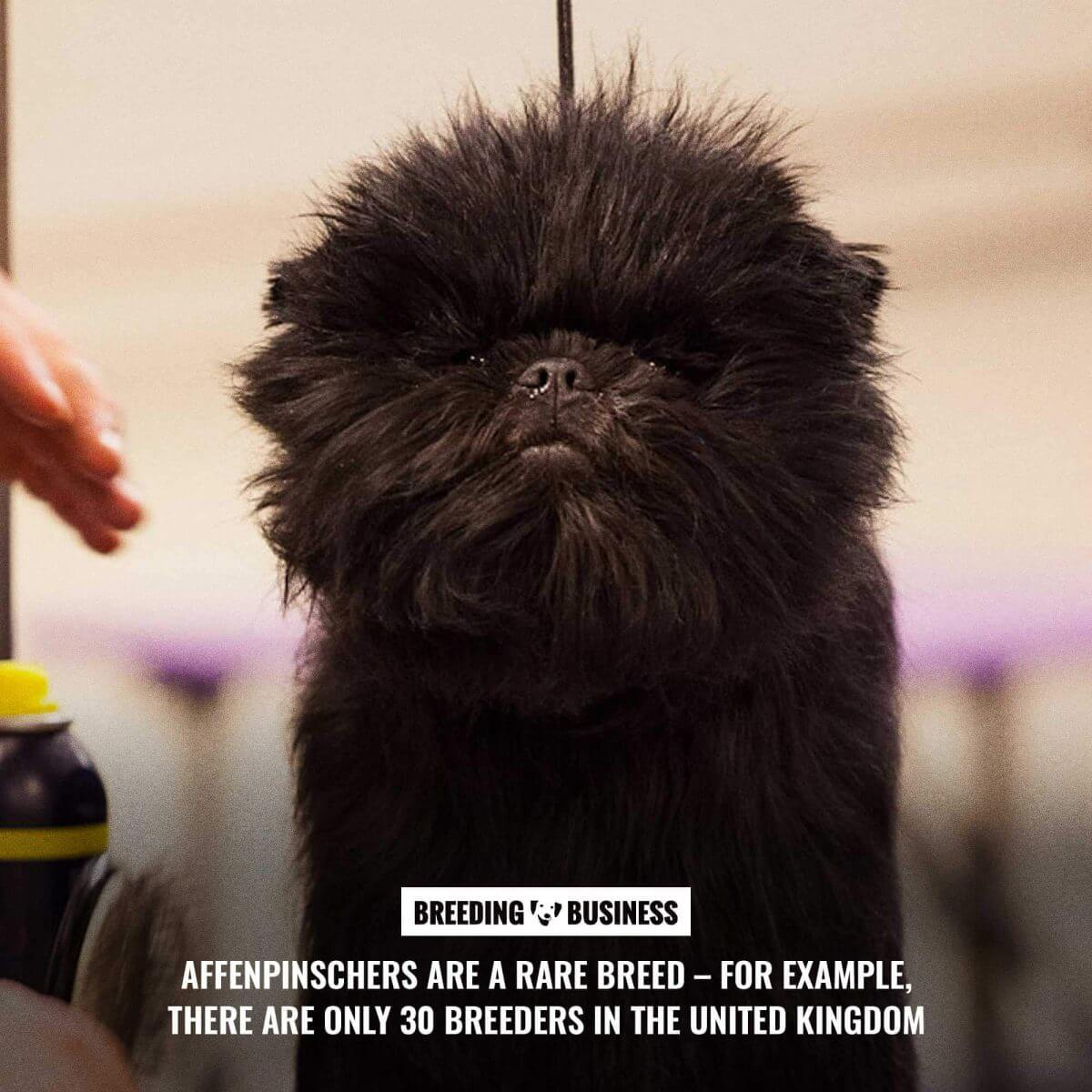 the rare affenpinscher breed