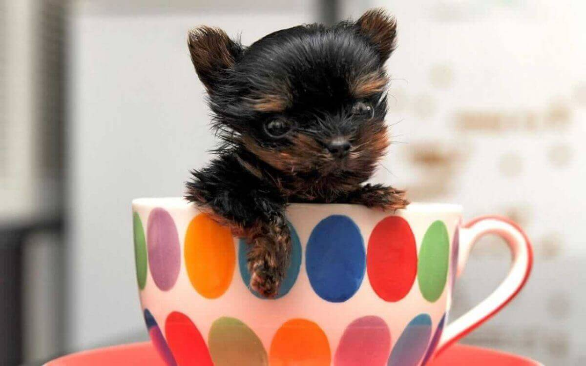 250 Small Dog Names Perfect Ideas For Tiny Teacup Toy Dogs