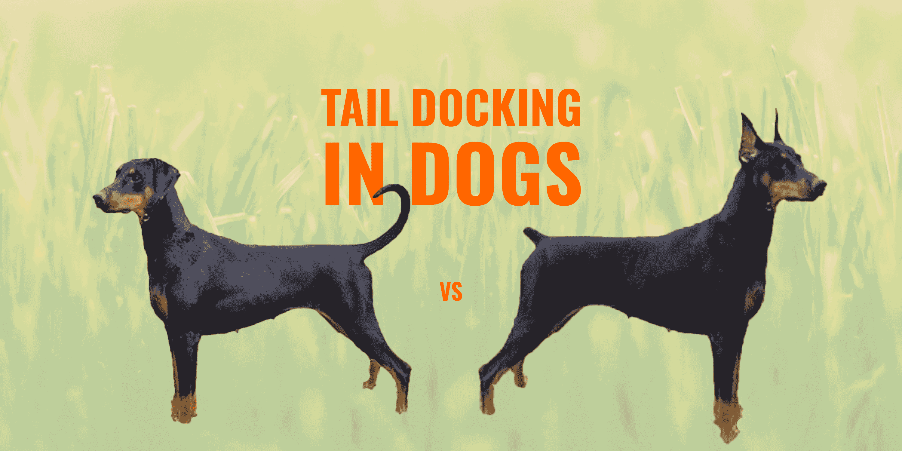 Tail Docking In Dogs Guide Safety Ethics Faq