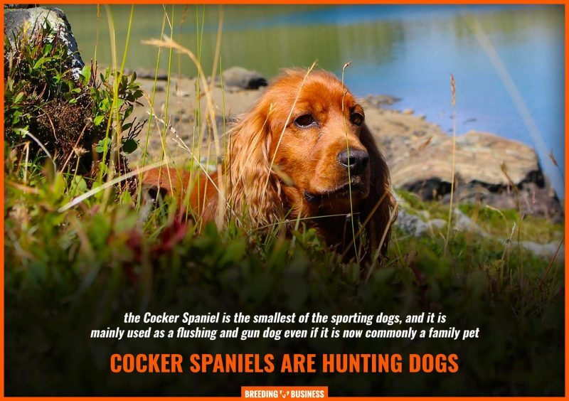 cocker spaniels as hunting dogs