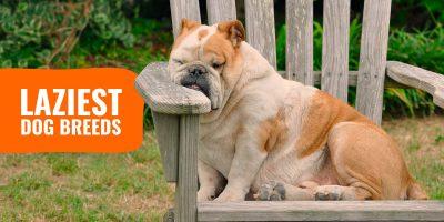 laziest dog breeds list
