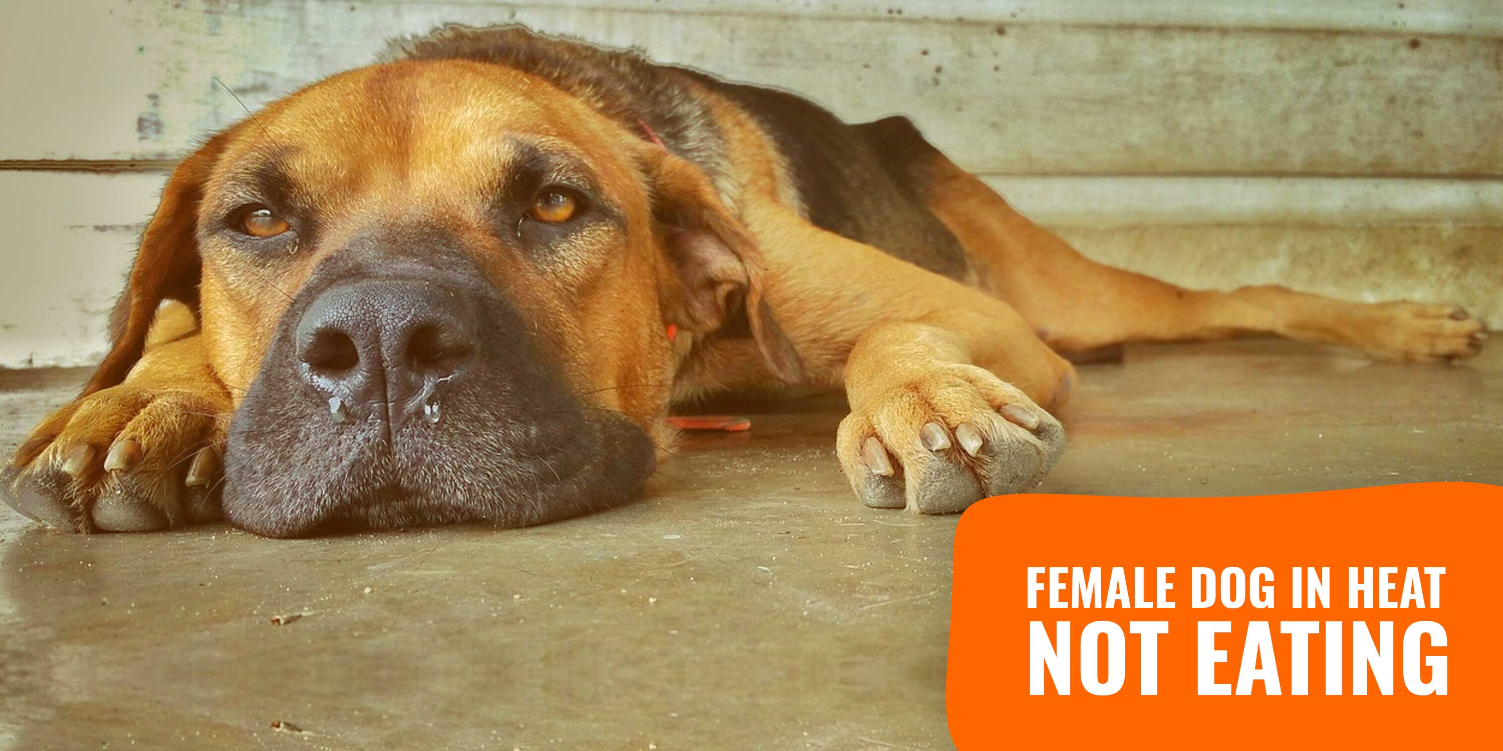 Female Dog In Heat Not Eating