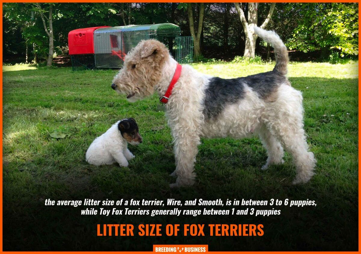 fox terrier litter size