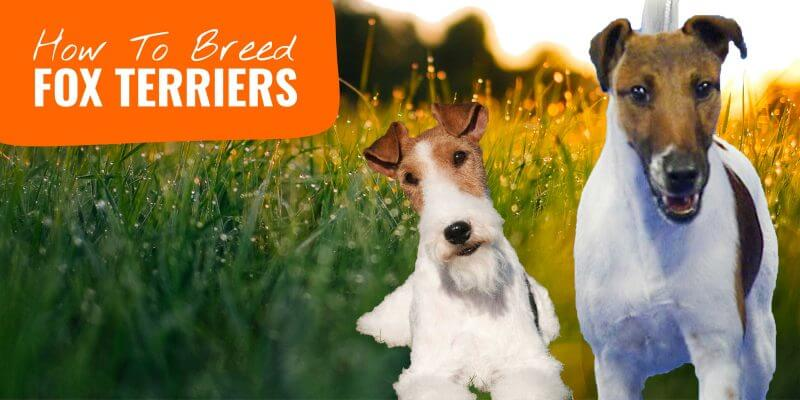 how to breed fox terriers