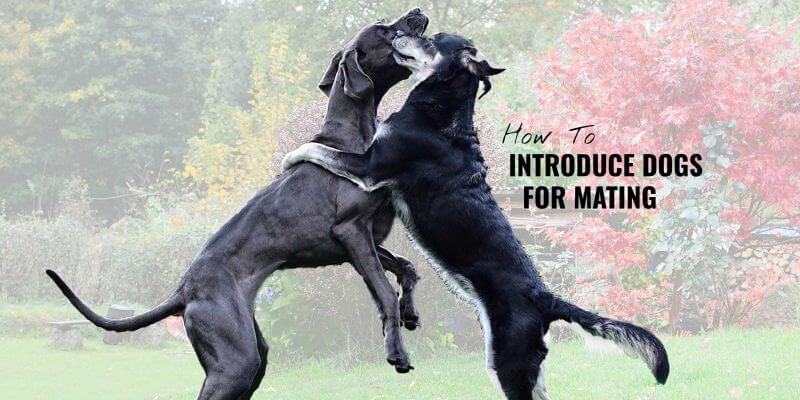 how to introduce dogs for mating