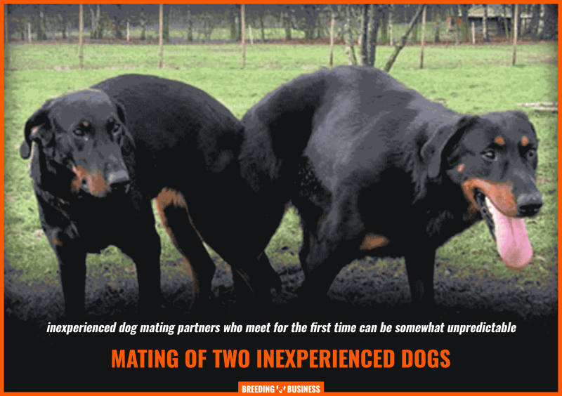 mating of inexperienced dogs