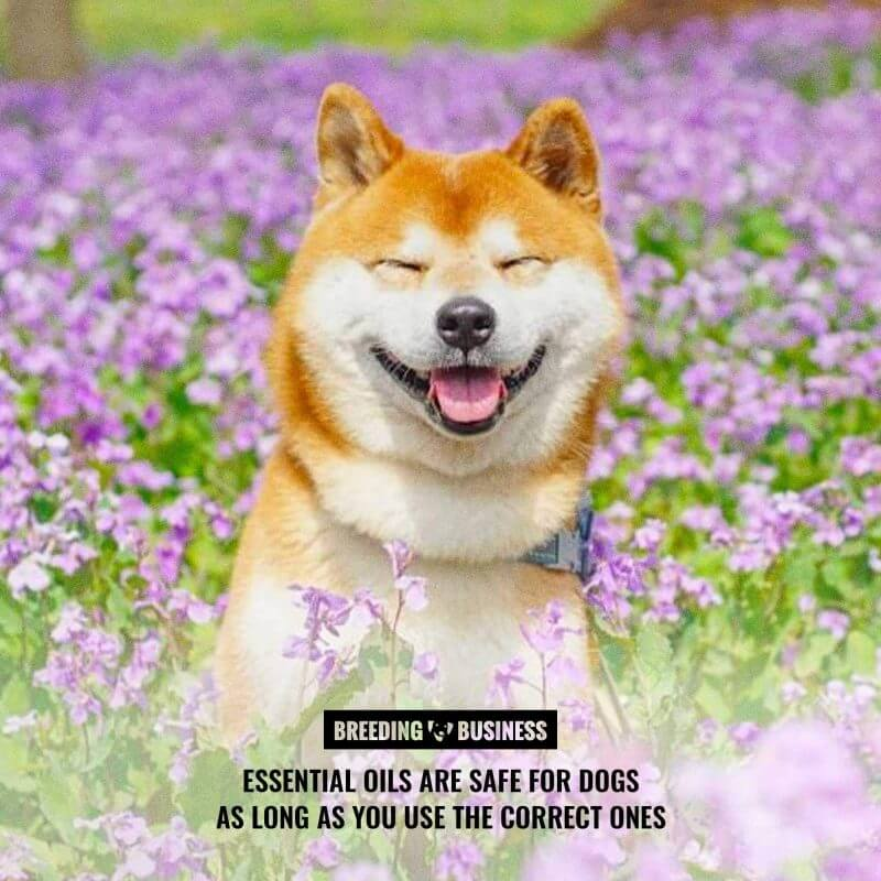 safety of essential oils for dogs