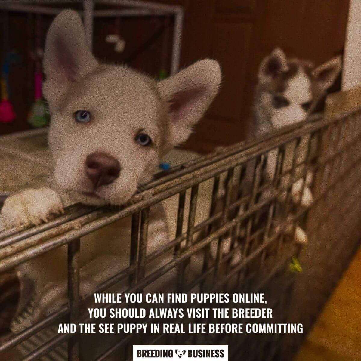 finding a breeder online