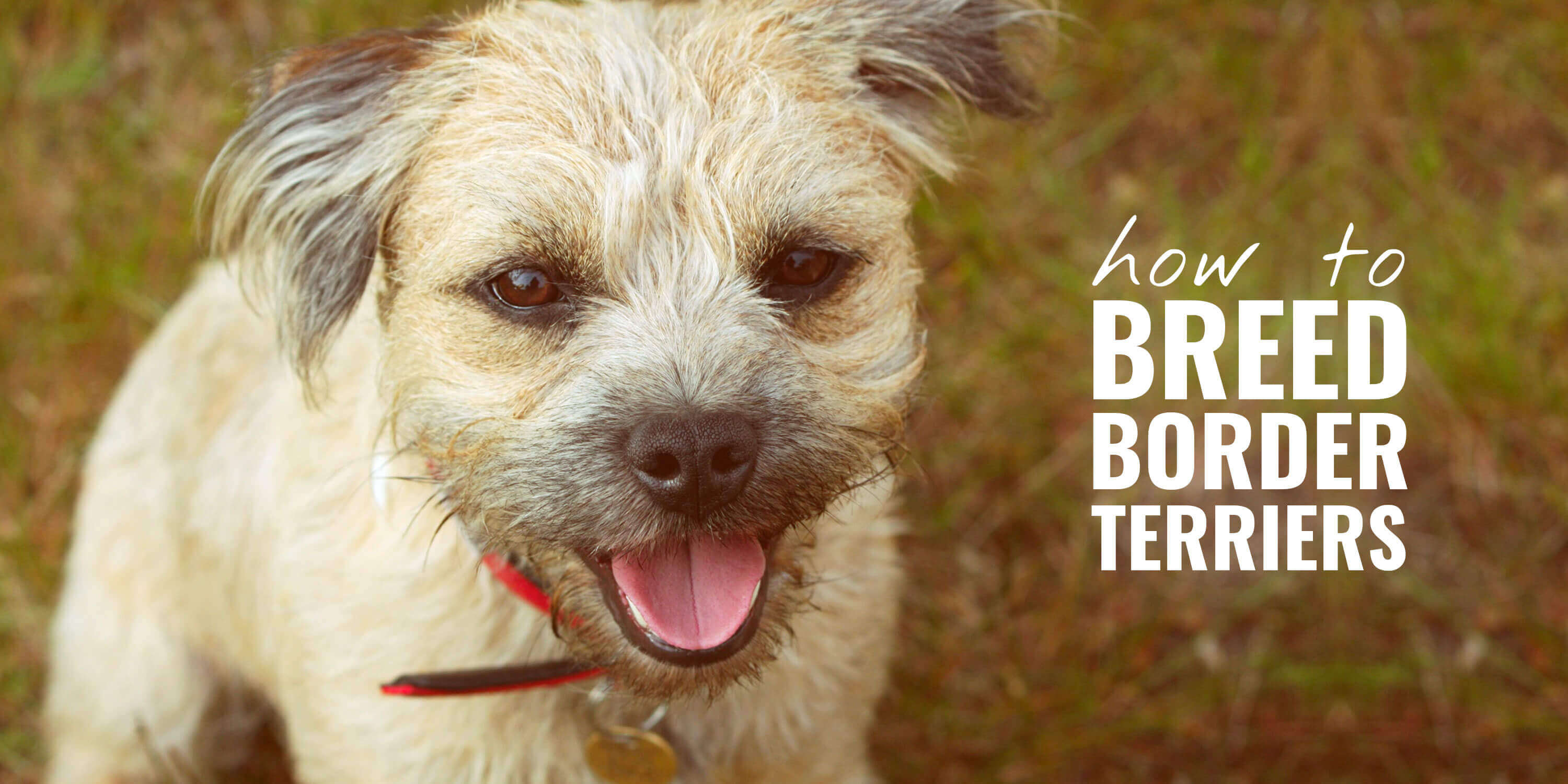 How To Breed Border Terriers History Best Practices Health