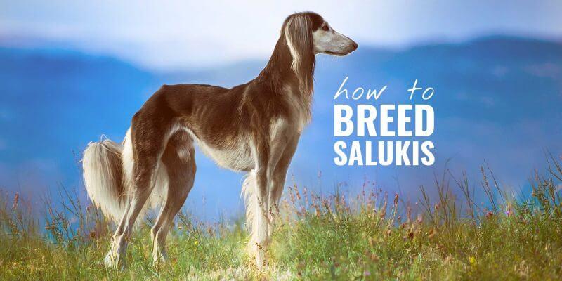 how to breed salukis (saluki breeding)