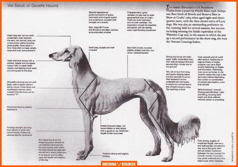 saluki breed standard