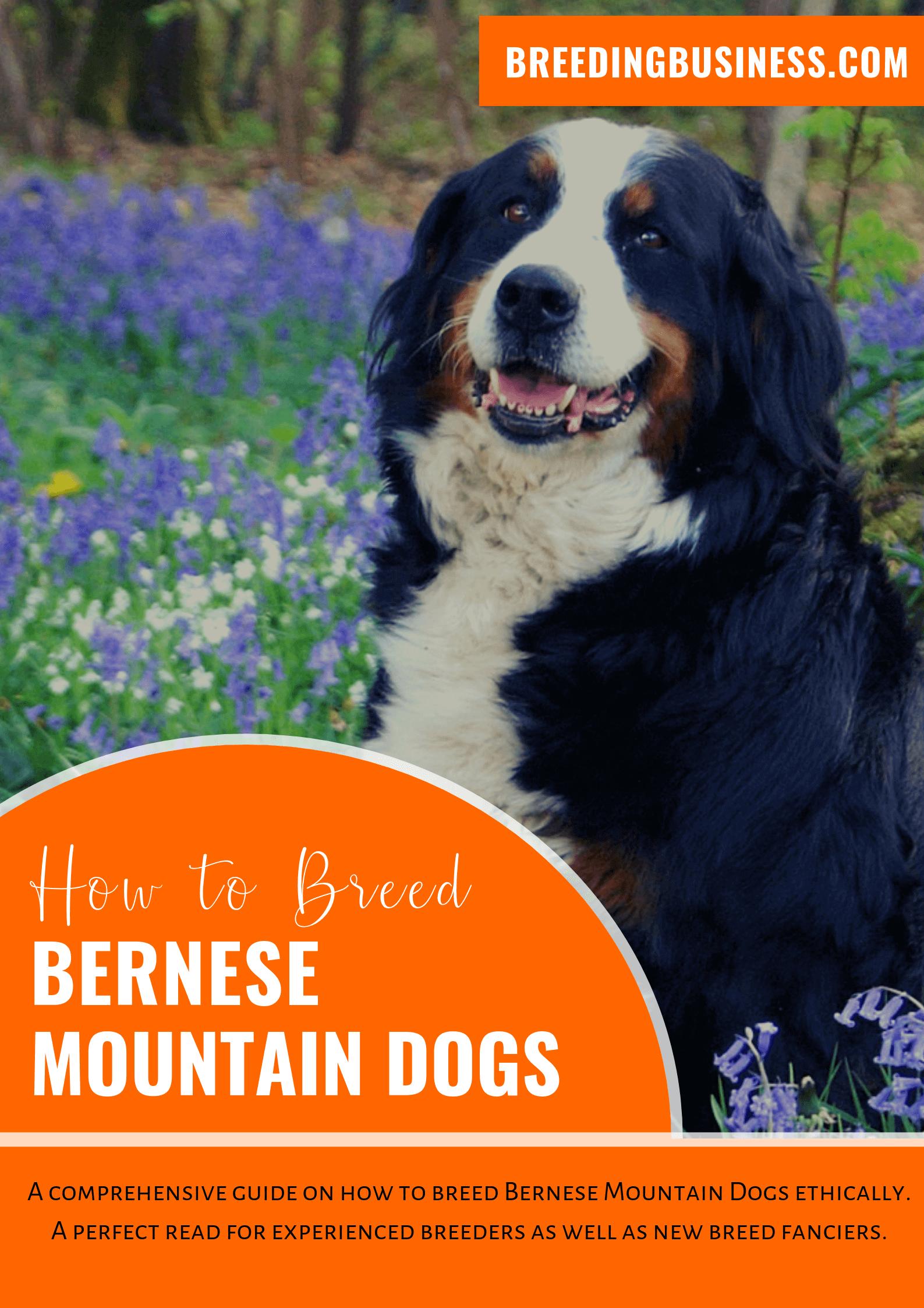 breeding Bernese Mountain Dogs