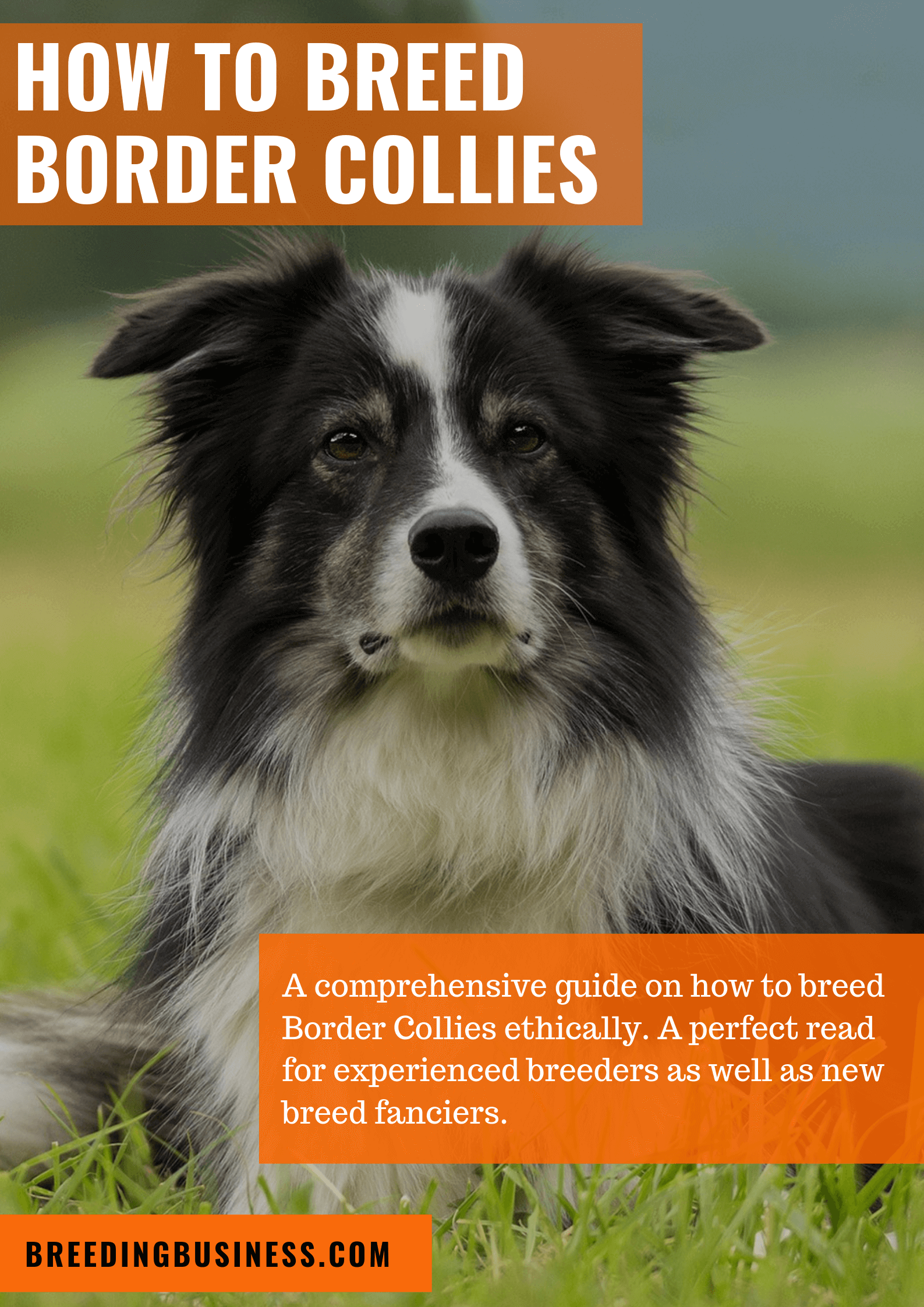breeding Border Collies