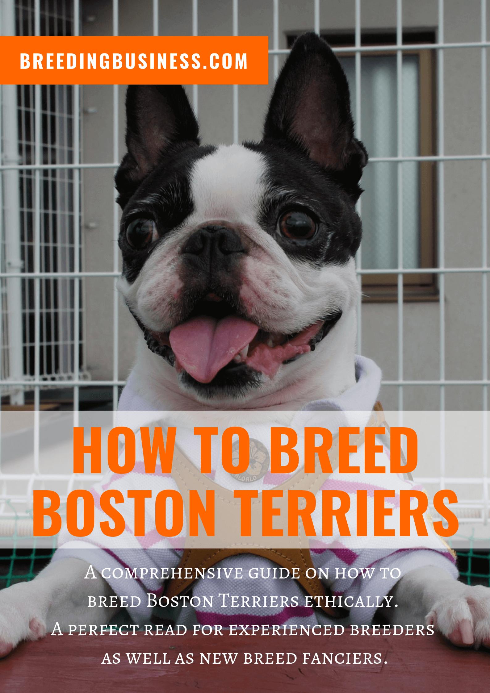 breeding Boston Terriers