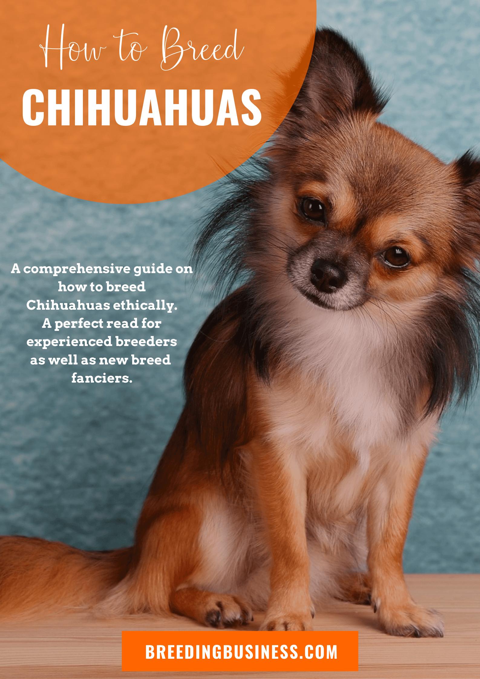 breeding Chihuahuas