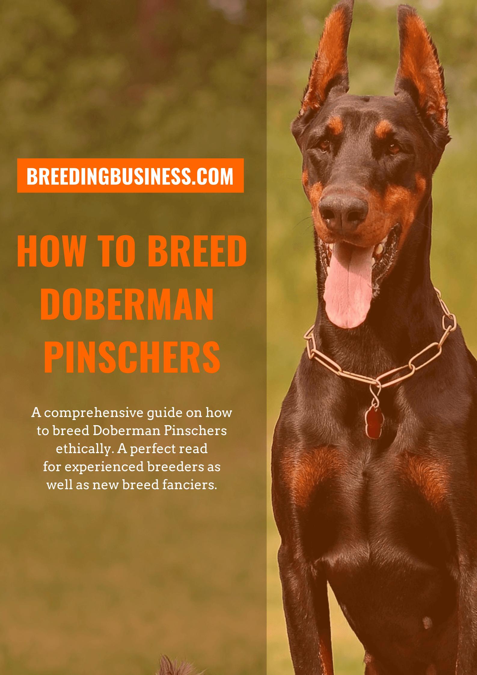 breeding Dobermans