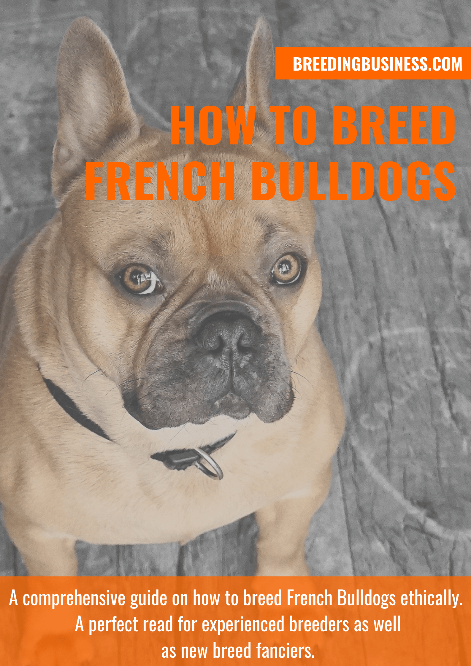 breeding French Bulldogs