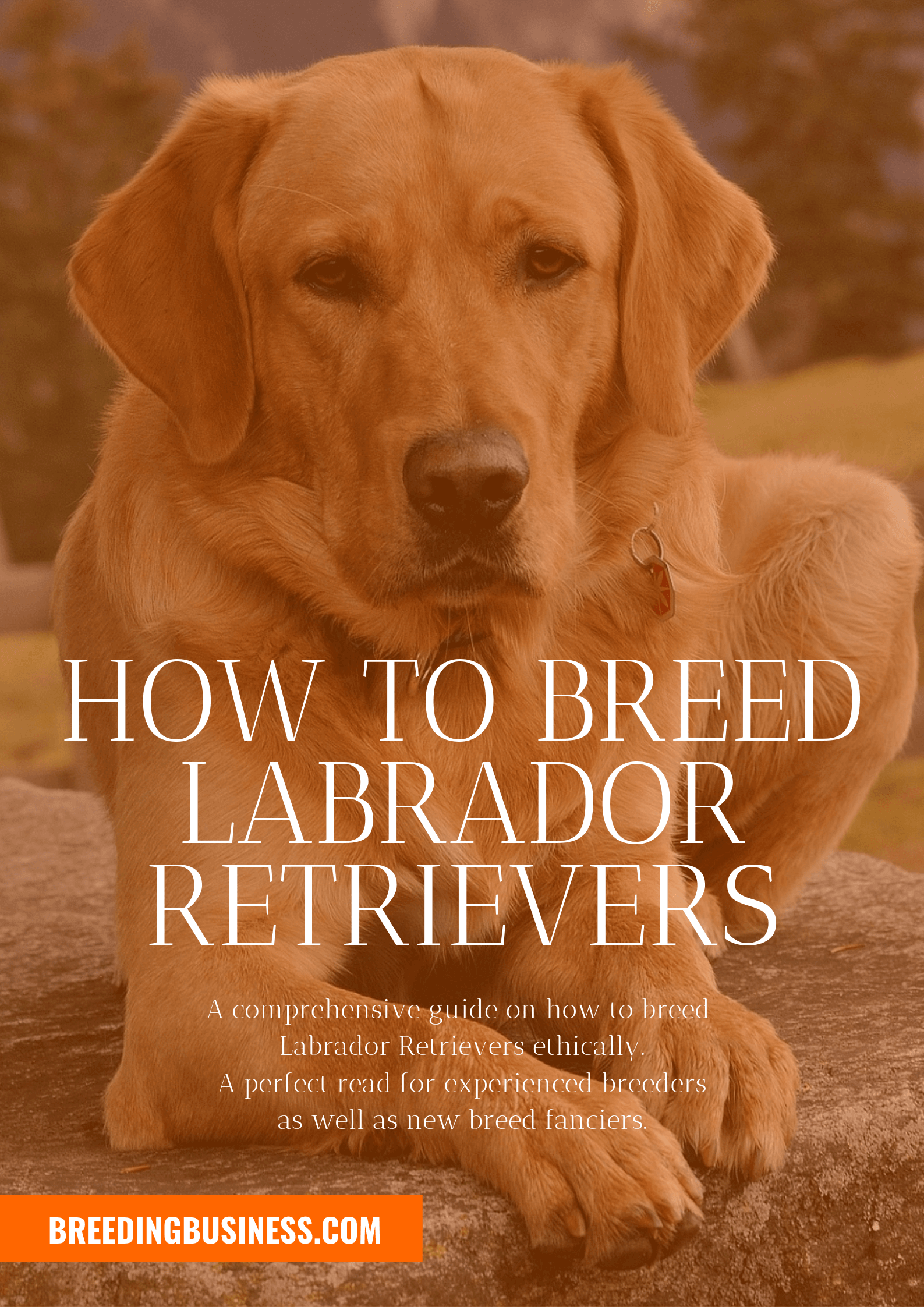 breeding Labrador Retrievers